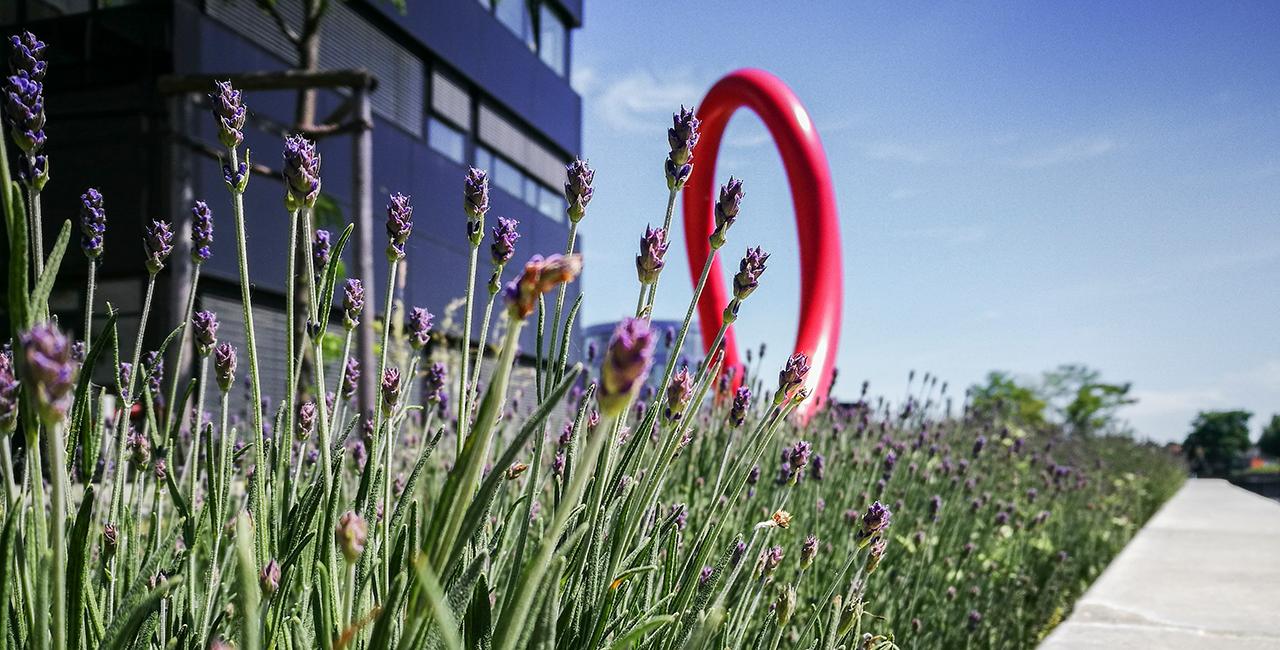 Lavendel auf dem Campus Wilhelminenhof