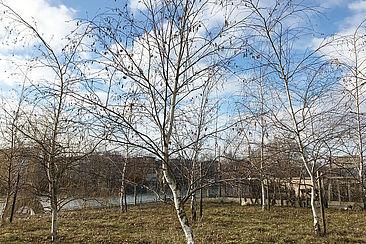 Birken auf dem Campus Wilhelminenhof